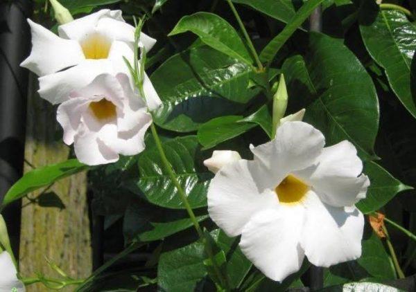 Flowering White Mandevilla Vine