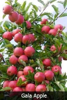 3 in 1 Apple Tree
