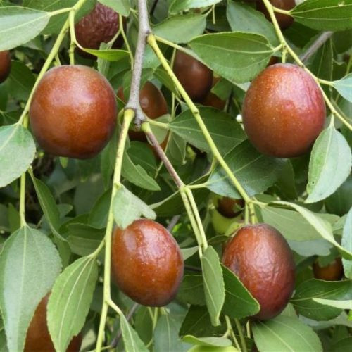 """Sugar Cane Jujube fruit hanging will dry on the tree into a sweet and healthy """"Chinese Date"""""""
