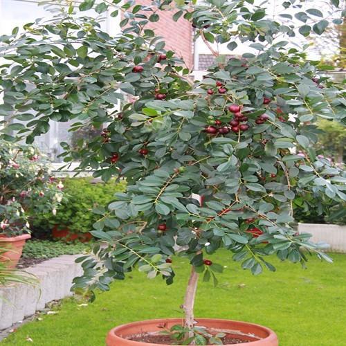 Strawberry Guava-Psidium cattleianum