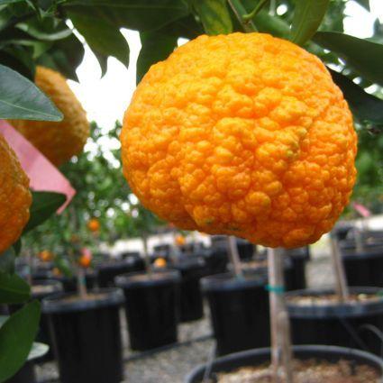 Gold Nugget Mandarin close up