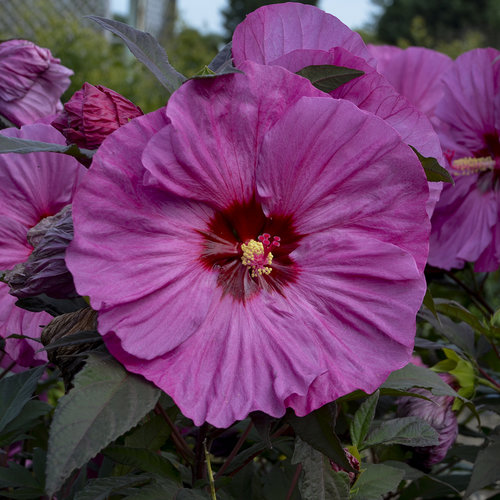 Summerific 'Berry Awesome' - Rose Mallow - Hibiscus hybrid