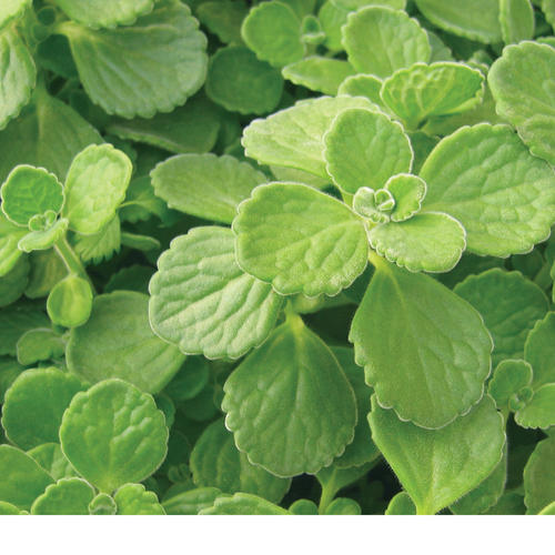 Proven Accents Cerveza 'n Lime - Plectranthus hybrid