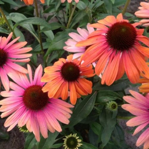 Butterfly Rainbow Marcella Coneflower blooms and foliage