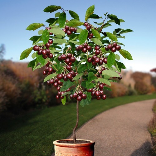 Cherry Tree Sunburst 170 cm