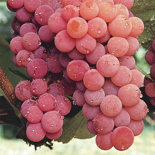 Red Canadice Seedless Grape Vine