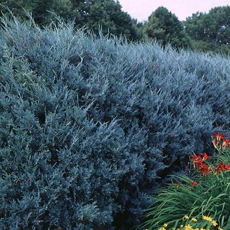 Juniper 'Wichita Blue' Tree