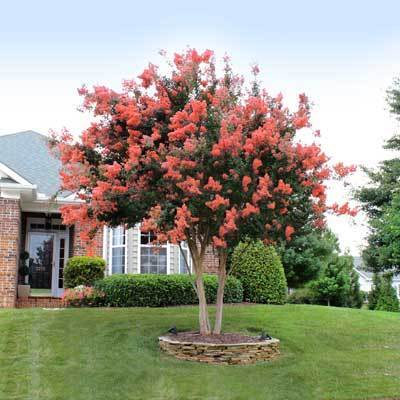Tuscarora Crape Myrtle Tree