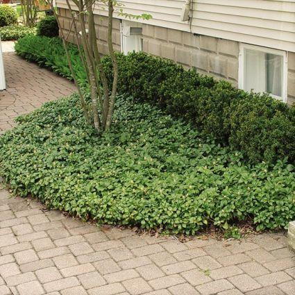 Japanese Spurge Green Carpet Overview
