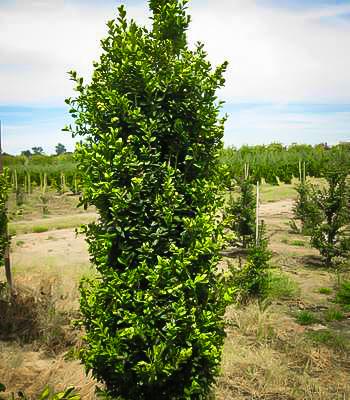 Green Pillar Boxwood