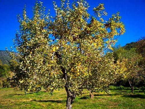 Yellow Golden Delicious Apple Tree Mature
