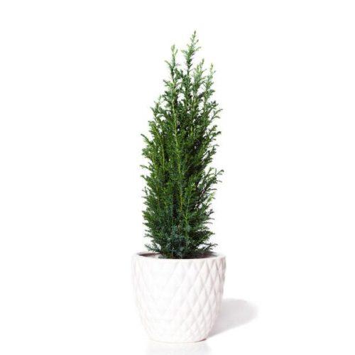 Dwarf Italian Cypress Tree