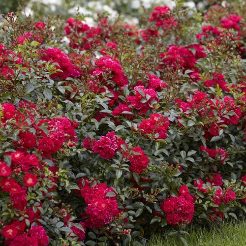 Fairy Roses red