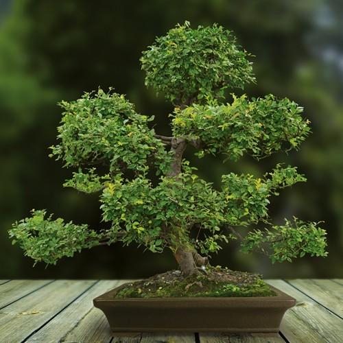 Bonsai Elm parvifolia 30 yr