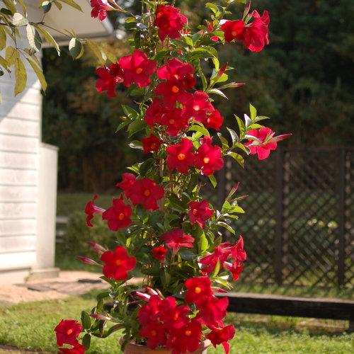 Sundenia Red - Dipladenia hybrid