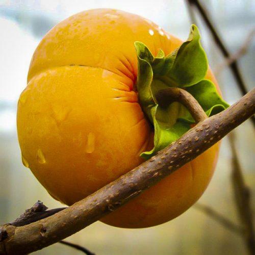 Fuyu Japanese Persimmon Tree