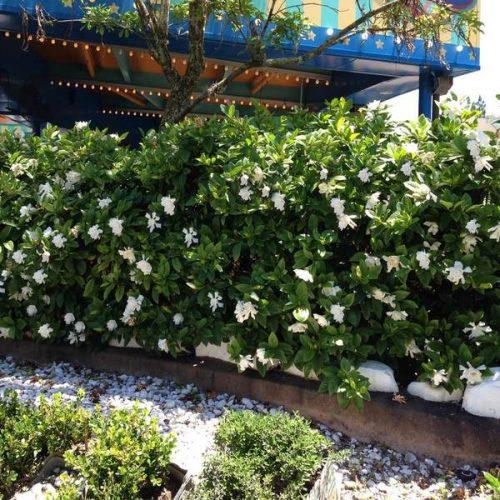 Frost Proof Gardenia Shrub