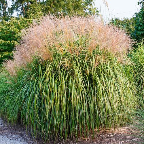 Maiden Grass Plant