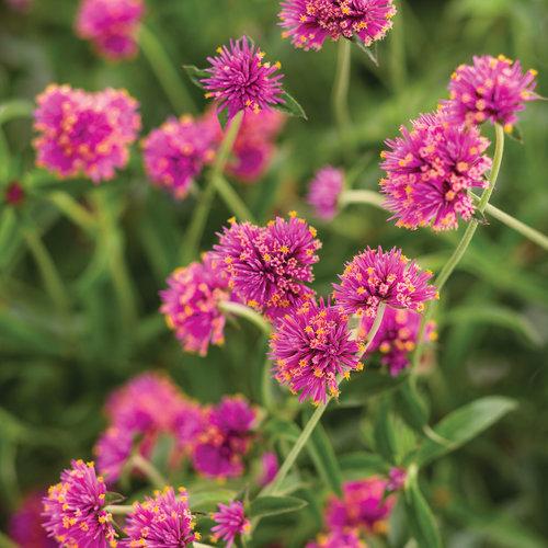 Truffula Pink - Globe Amaranth - Gomphrena pulchella