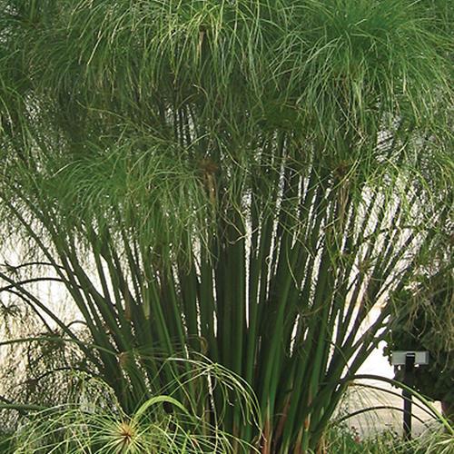 Graceful Grasses King Tut - Egyptian Papyrus - Cyperus papyrus