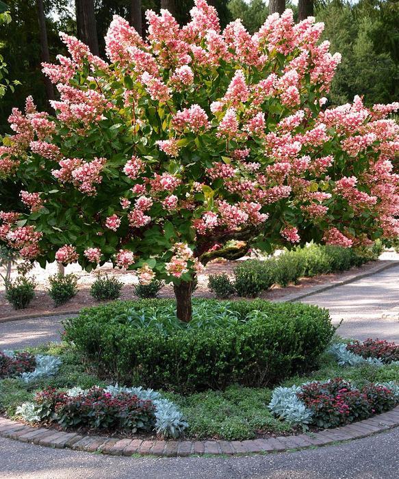 Quick Fire Hydrangea Tree