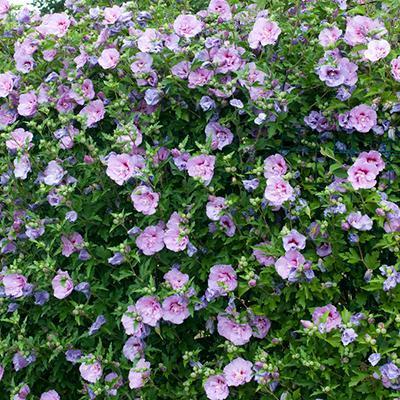 Lavender Hibiscus Syriacus Shrub