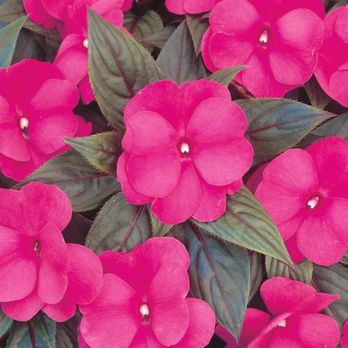 Infinity Dark Pink - New Guinea Impatiens - Impatiens hawkeri