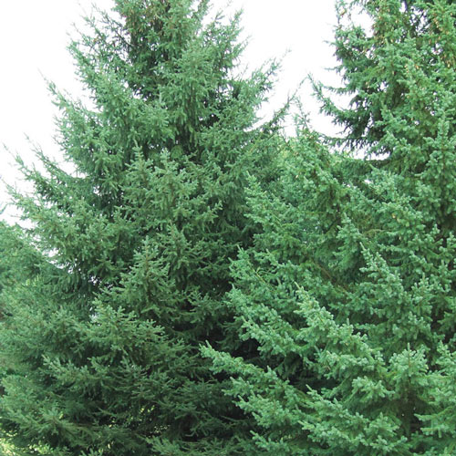 Black Hill Spruce Tree