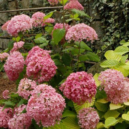 Bella Anna Hydrangea blooms and foliage
