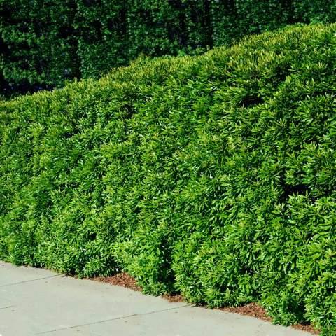 Wax Myrtle Tree