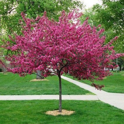 Royal Raindrops Crabapple Tree overview