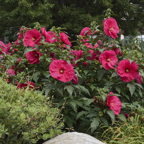 Summer in Paradise - Rose Mallow - Hibiscus hybrid