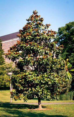 Edith Bogue Southern Magnolia