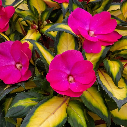 SunPatiens Compact Tropical Rose - Impatiens x hybrida