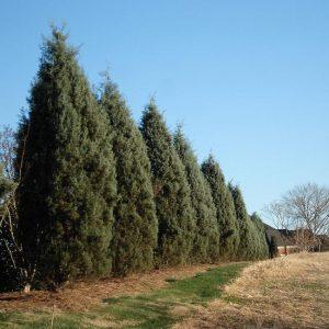 Drought Tolerant Evergreen Tree