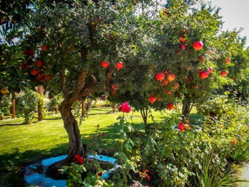 Russian Pomegranate Bush