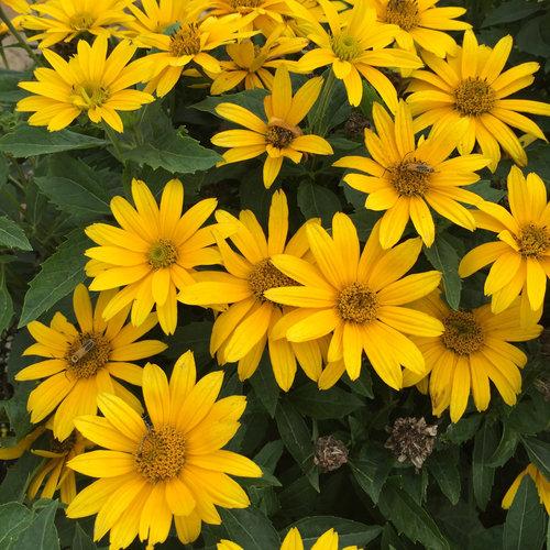Tuscan Gold - False Sunflower - Heliopsis helianthoides