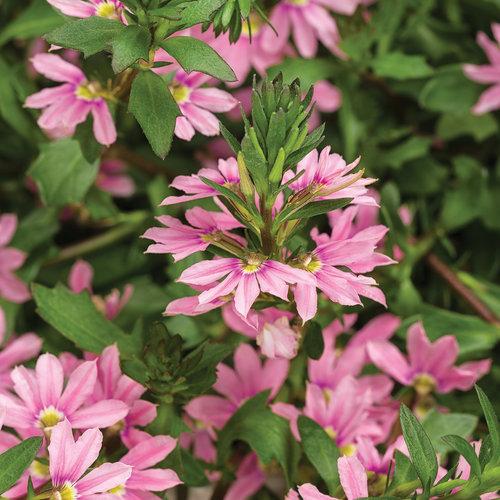 Whirlwind Pink - Fan Flower - Scaevola aemula