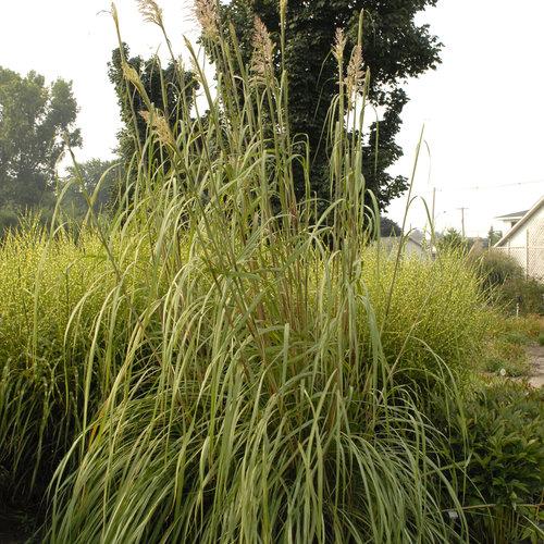 Ravenna Grass - Erianthus ravennae