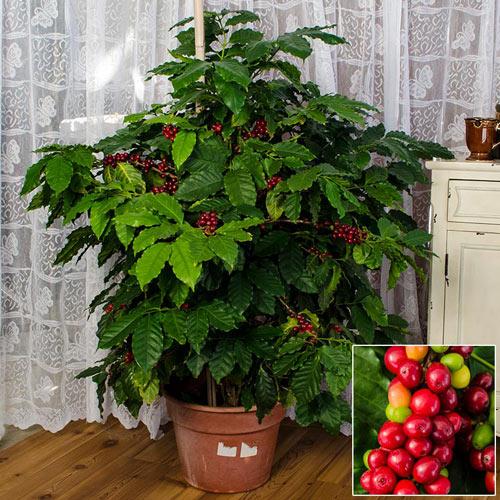 Dwarf Pacas Coffee Plant