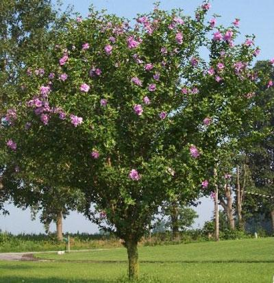 Pink Rose of Sharon Althea Tree