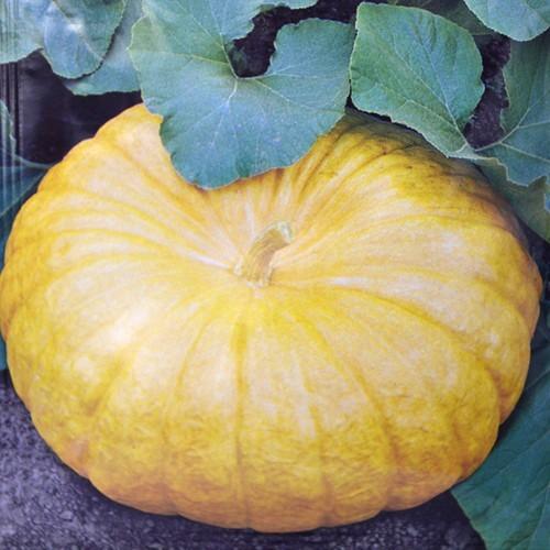 Pumpkin Yellow