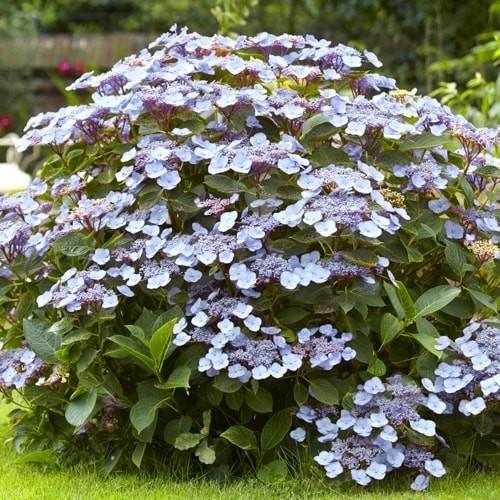 Hydrangea serrata Blue Bird