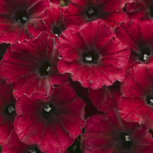 Supertunia Black Cherry - Petunia hybrid