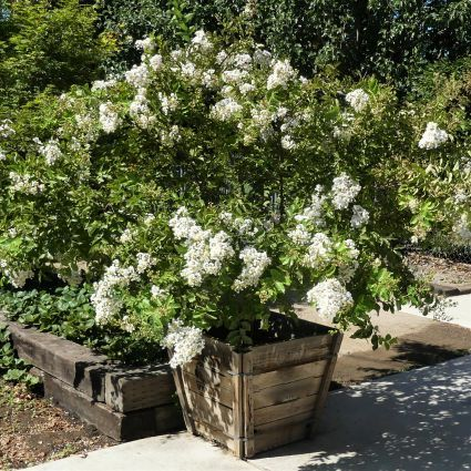 Acoma Crape Myrtle Overview