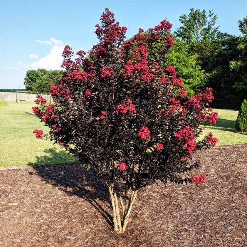 Black Diamond® Best Red™ Crape Myrtle Tree