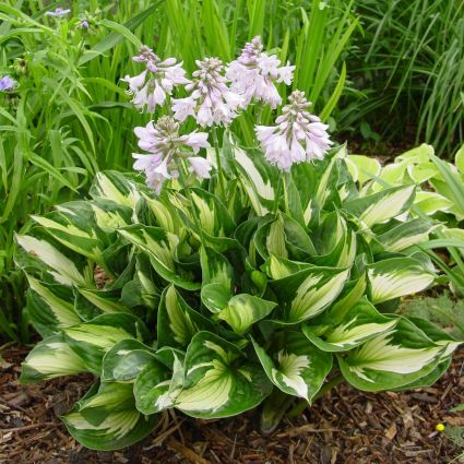 Hosta Whirlwind Overview