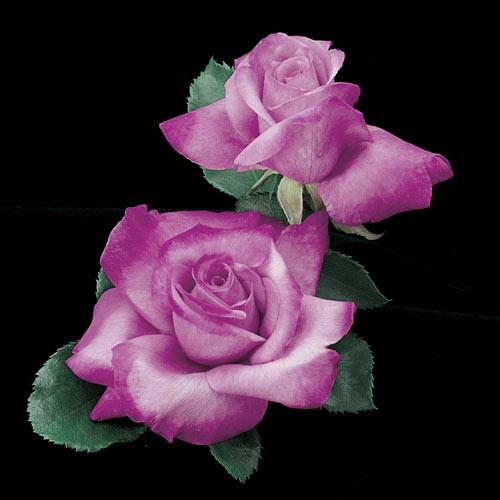 Angel Face Floribunda Rose Plant