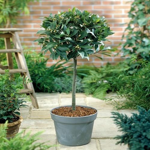 Laurus nobilis Standard Bay Tree