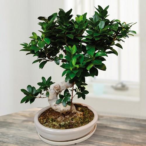 Bonsai Ficus Retusa microcarpa Ginseng